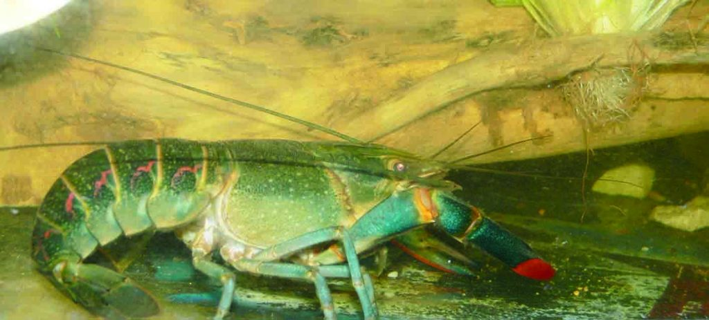 Kenali Spesies Udang Kara Air Tawar Agro Malaysia